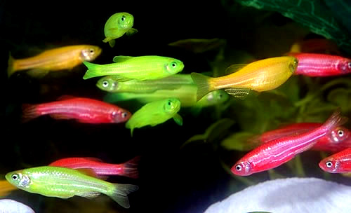 Are Glofish Bad For The Environment Biology Fortified Inc