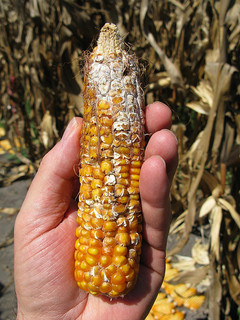 The Promise of GMOs: Mycotoxins