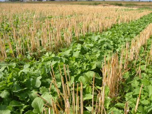 Mustard cover crop. Photo: A. McGuire