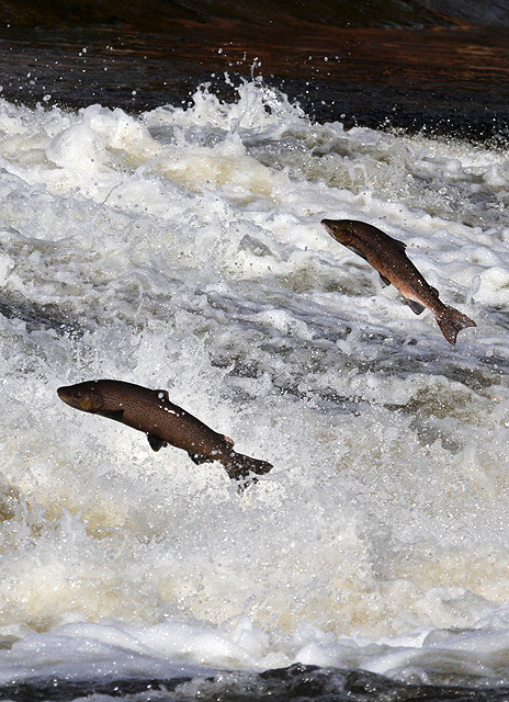Preventing escape of GMO salmon