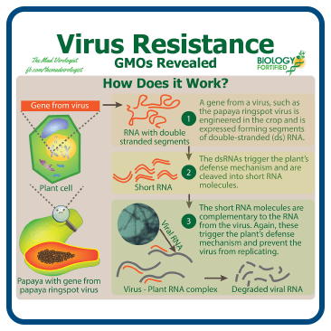 How virus resistance works in GMOs