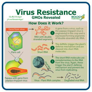 How virus resistance works in GMOs