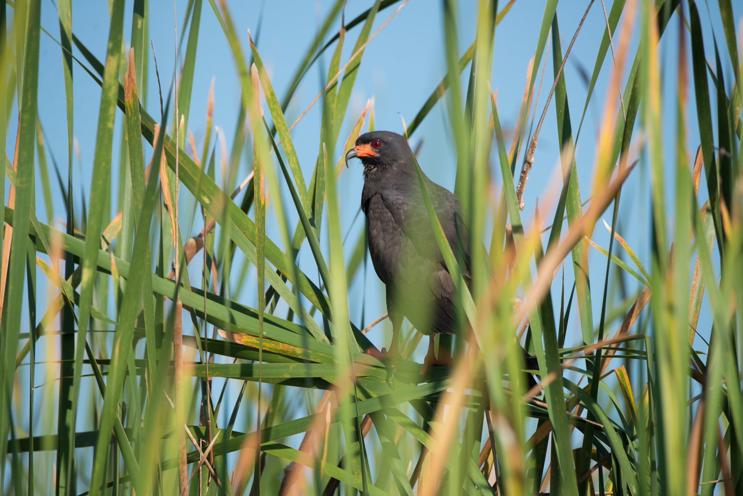 An Everglades snail kite perches on cattails on Lake Okeechobee.