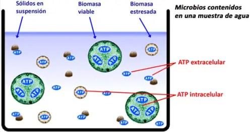 BIO-ATP2G-gràficATPcubeta