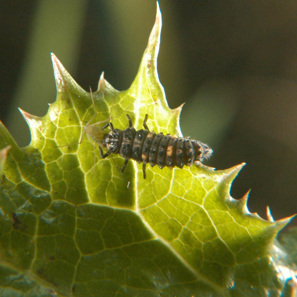 larves de coccinelles adalia bipunctata bioinsecte. Black Bedroom Furniture Sets. Home Design Ideas