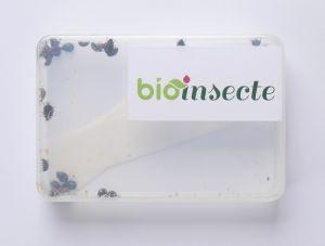 coccinelles adalia bipunctata