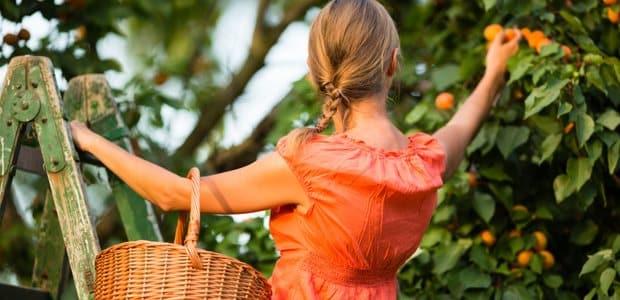 abricot sec ou abricot frais