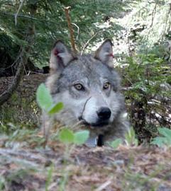 Teanaway Pack wolf
