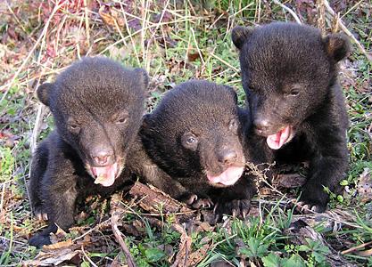 Louisiana black bear cubs