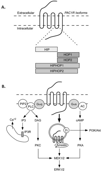 Pituitary Adenylate Cyclase Activating Polypeptide in