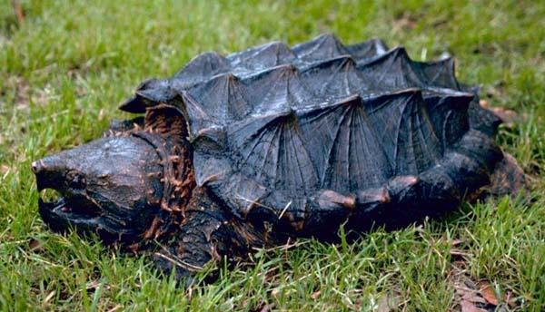 aligatorska kornjača
