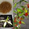 Plants de Goji bio Himalaya produits par Biologiquement