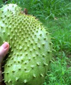 Le fruit du corossolier, le graviola corossol un anticancer naturel puissant