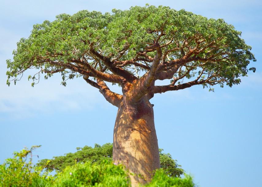 L'arbre Baobab qui donne le fruit de Baobab bio Baomix produit par Biologiquement