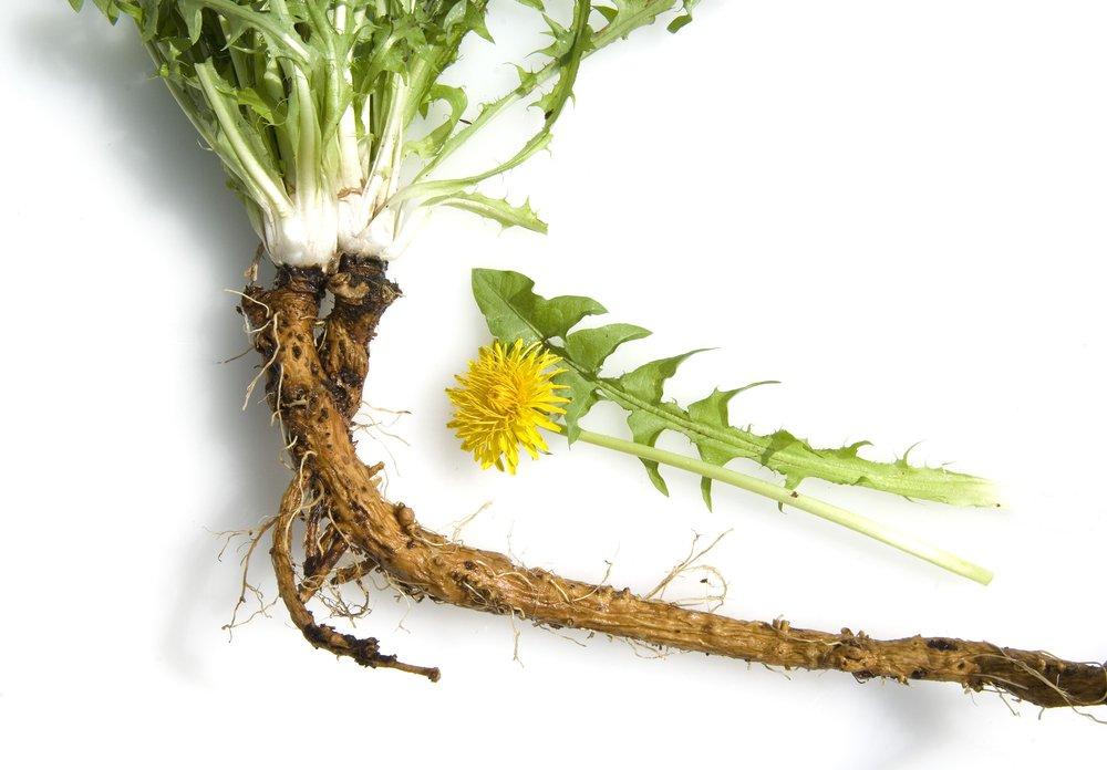 Raíz de diente de león orgánico un poderoso anticancerígeno natural ...
