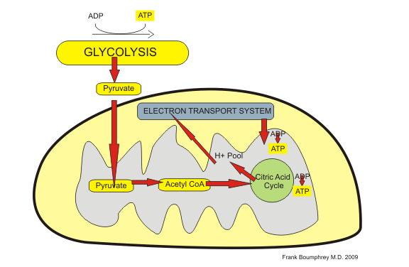 simple mitochondria diagram flygt pump wiring mitochondrial dna hallmark of psychological stress biology blog biological features