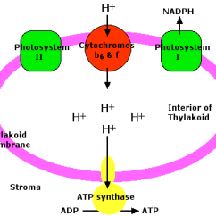 Light Reactions Photosystem Diagram Philips Avance Food Processor Price Photosynthesis The Role Of Chemiosmosis In Chloroplasts