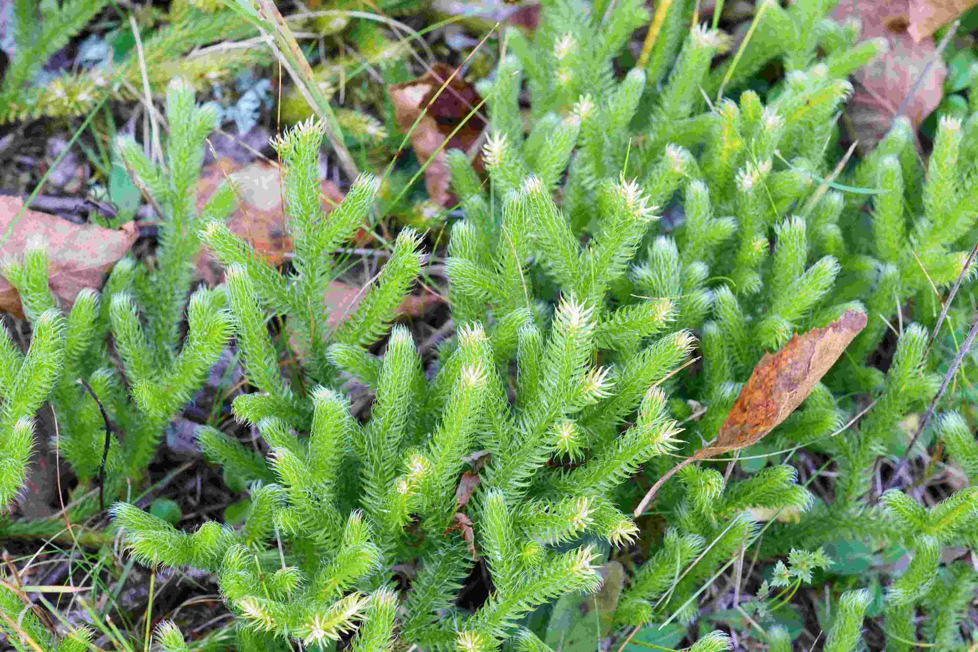 hight resolution of the groups of bryophytes