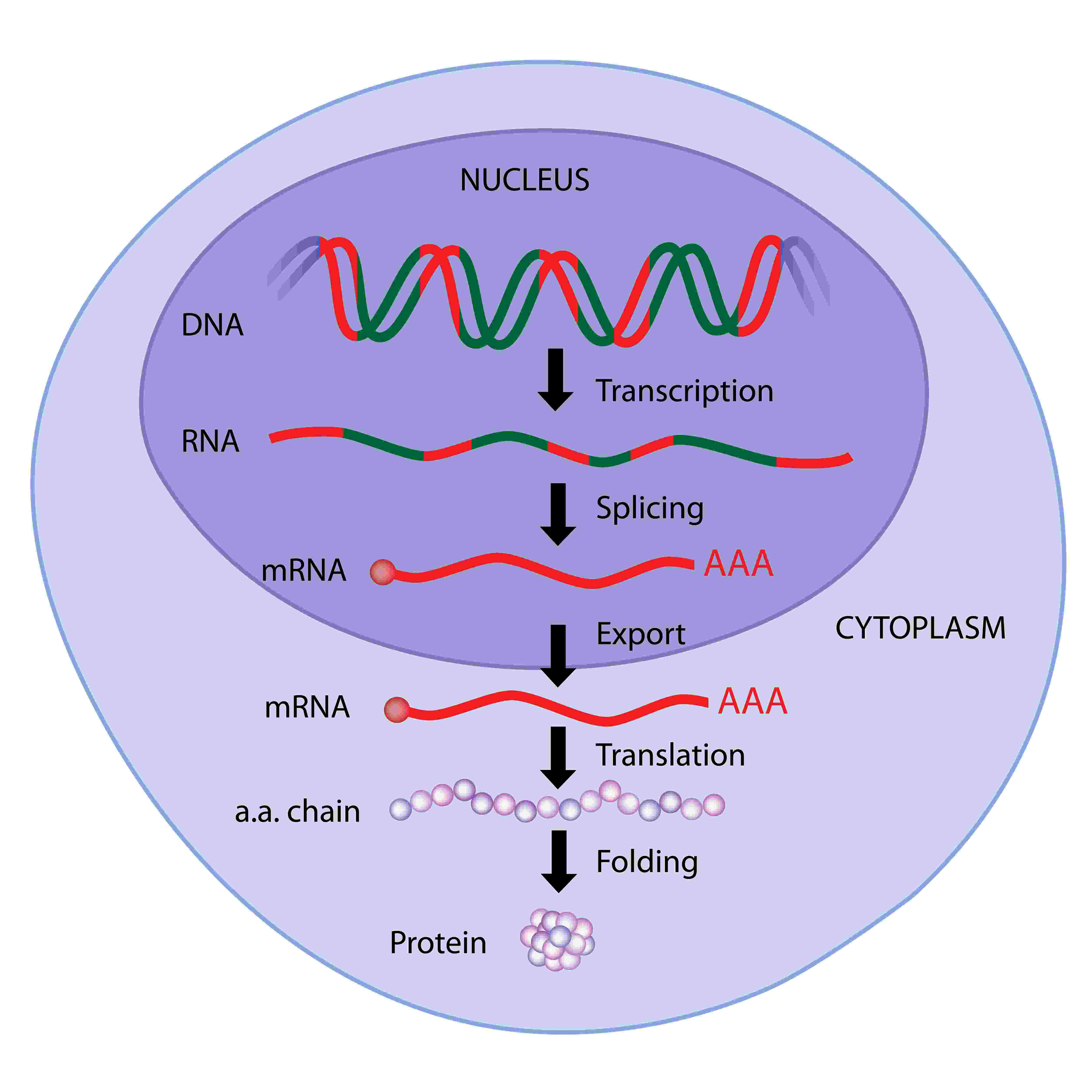 dna translation diagram work light wiring protein synthesis