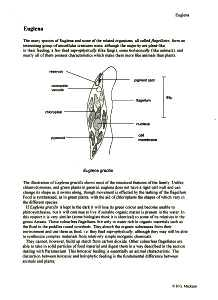 euglena cell diagram with labels hepatic portal vein biology protista amoeba malaria paramecium spirogyra structure