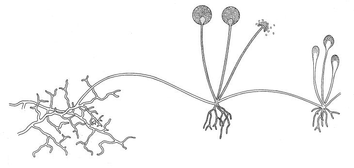 Rhizopus. Illustrations of Fungi. Biology Teaching