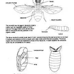 Cricket Life Cycle Diagram 1989 Honda Accord Stereo Wiring Biology Insect Cycles Information Drawings By D G Mackean Housefly 1