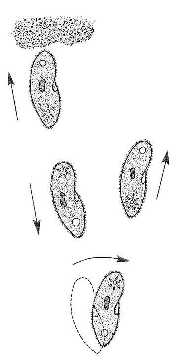 Biological drawings. Paramecium Motion and Avoidance