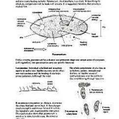 Euglena Cell Diagram With Labels 1991 Volvo 240 Radio Wiring Biology Protista Amoeba Malaria Paramecium Spirogyra Structure