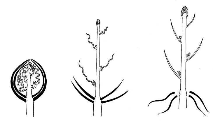 Biological drawing. Diagram of Bud Growth. Resources for