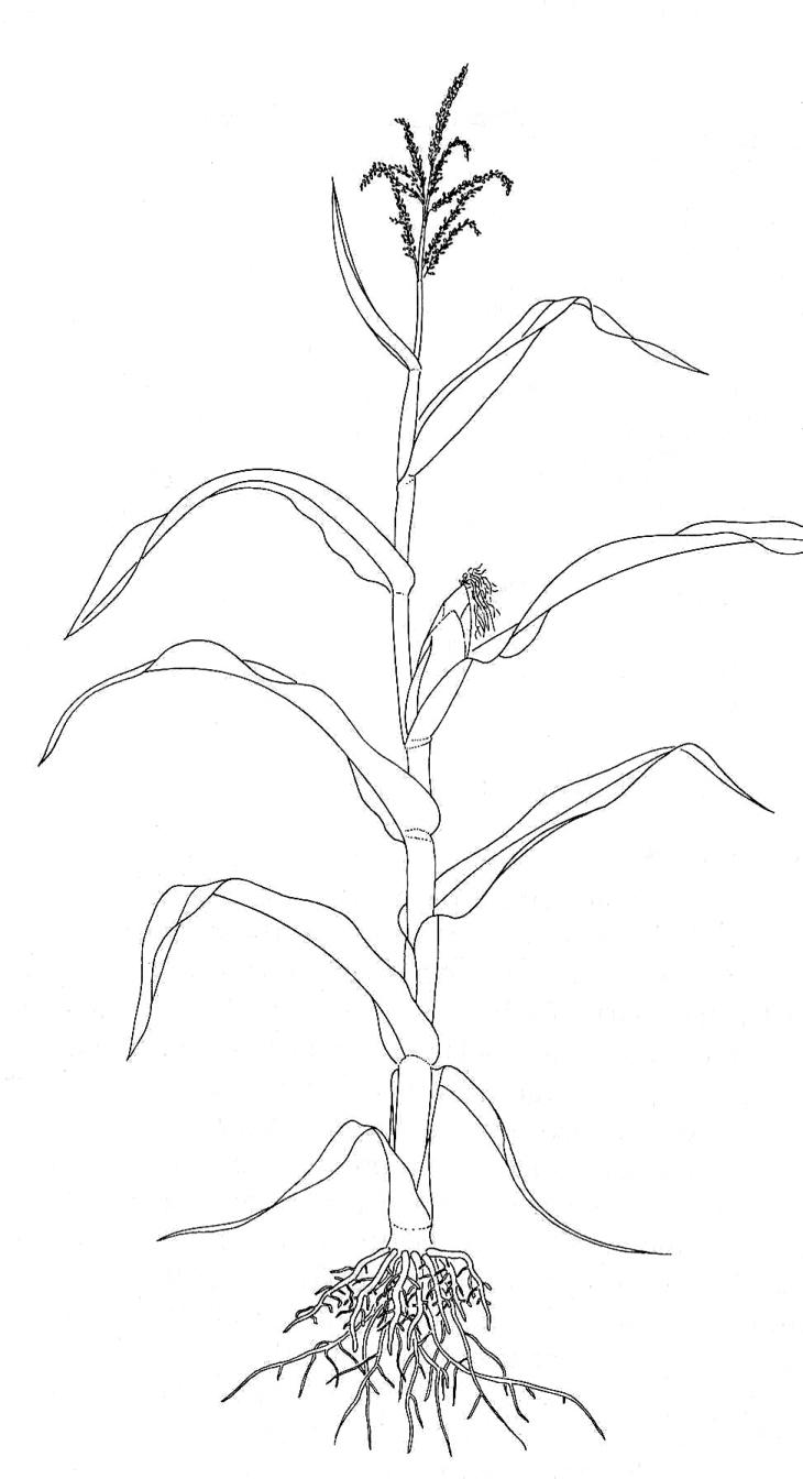 Maize Plant Diagram