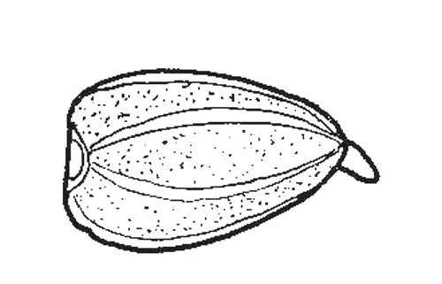 Biological drawing. Sunflower Fruit, Germination Stage 1
