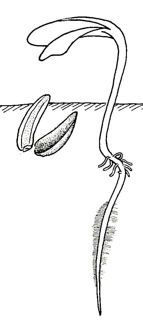 Biological drawing. Sunflower Fruit Germination Stage 4