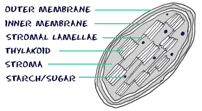 chloroplast diagram with labels 2003 dodge durango infinity stereo wiring biology4kids com cell structure chloroplasts cross section of membranes stromal lamellae thylakoid stroma