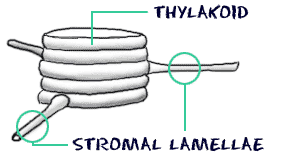 chloroplast diagram with labels wire three way switch multiple lights biology4kids com cell structure chloroplasts connections between thylakoid stacks through stromal lamellae