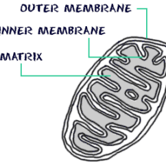 Mitochondrion Structure Diagram Heil Wiring Heat Pump Biology4kids Com Cell Mitochondria Cross Section Of A Membranes Matrix