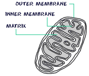 simple mitochondria diagram honeywell frost protection kit wiring biology4kids com cell structure cross section of a mitochondrion membranes matrix
