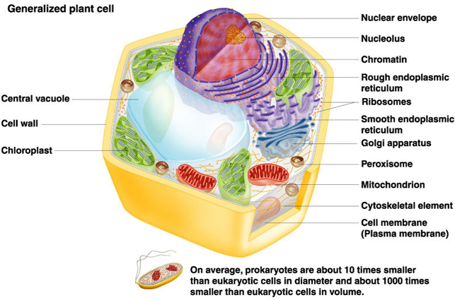 Image of: Diagram Animal Cell Animal Cell Plant Cell The Biology Corner Plant And Animal Cells Labeled Graphics