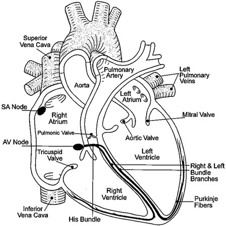 Human Heart Outline Labeled