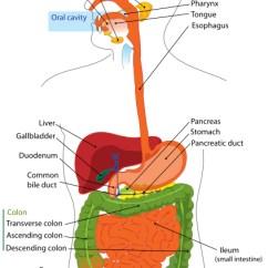 Rat Digestive System Diagram Quiz 75 Kva Transformer Wiring Answer Key Label The