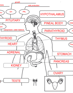 Endocrine System Chart Answers Www Homeschoolingforfree Org