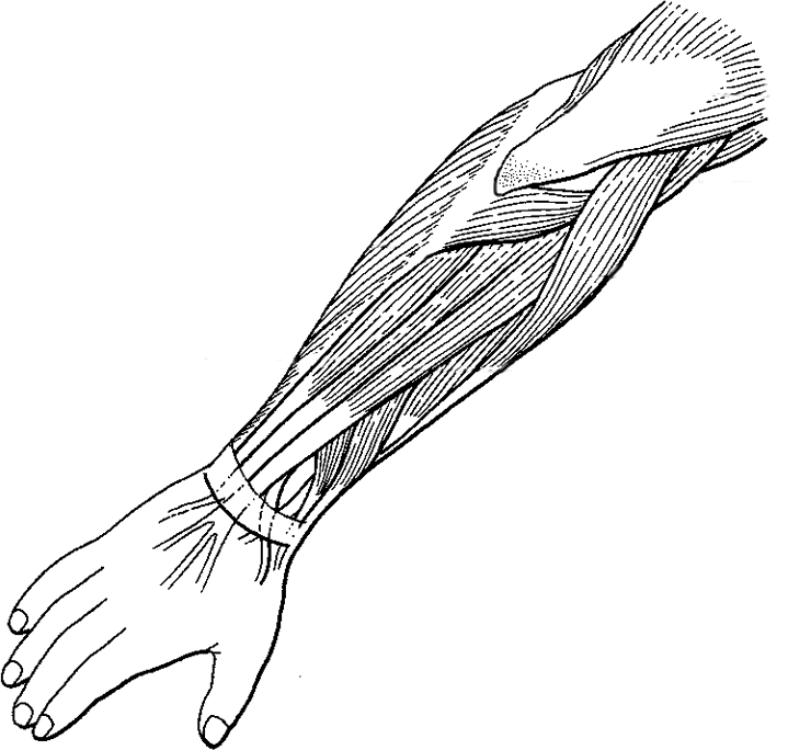 Label and Color the Muscles of the Arm (Extensors)