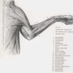 Cat Muscle Anatomy Diagram Emg Mm Hz Wiring Muscles Lab Guide Sternomastoid 20 Checkbox