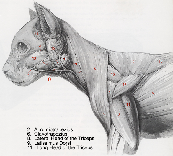 cat muscle anatomy diagram 1998 ford explorer xlt radio wiring muscles lab guide
