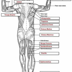 Skeletal Muscle Labeled Diagram Print Stellaluna Venn Activity Muscles Labeling Full Body Original Printable Key