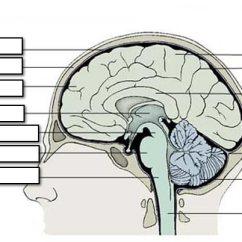 Brain Diagram Without Labels Direct Tv Genie Parts Worksheet Oaklandeffect Chap 9 Notes Part 2