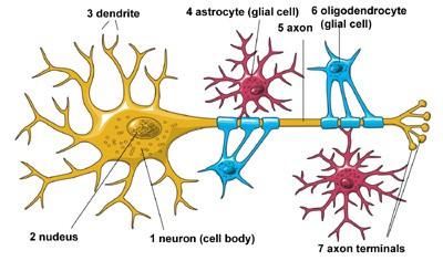 basic neuron diagram double light switch alexa chap 9: the nervous system (part 1)