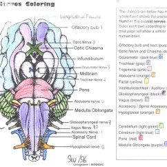 Sheep Brain Diagram Biology Corner 05 Yfz 450 Wiring Cranial Nerves Coloring Answer Key
