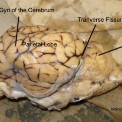 Sheep Brain Diagram Biology Corner 1998 Toyota Corolla Stereo Wiring Dissection With Labeled Images Transverse Fissure