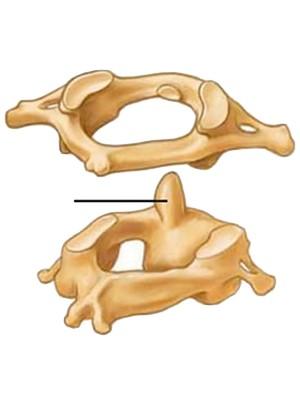 vertebrae diagram blank trailer light wiring 7 way bone flashcards