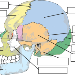 Human Skull Bones Diagram Labeled Wiring For 3 Way Switches Multiple Lights Label All Data The Of Anatomy